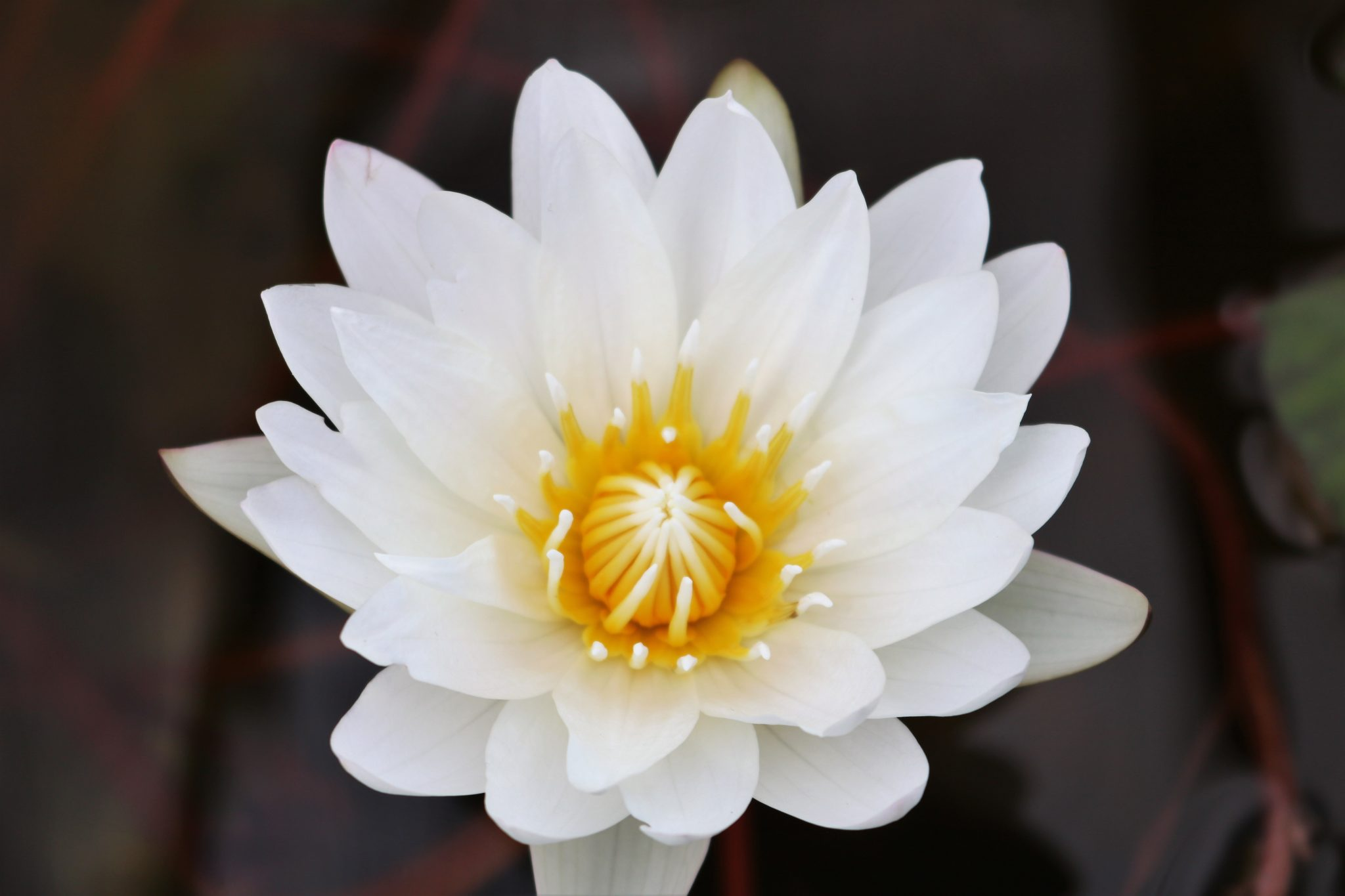 Relaxing Water Lily