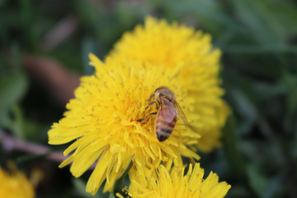 mason bee on dandelion